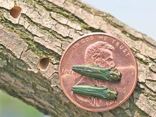 Congrats, Wood Bats, Bonds and Beetles