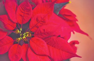 Help Make Your Poinsettias Last Longer
